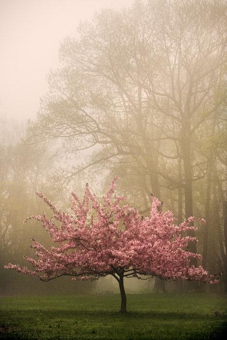 I am a cherry blossom